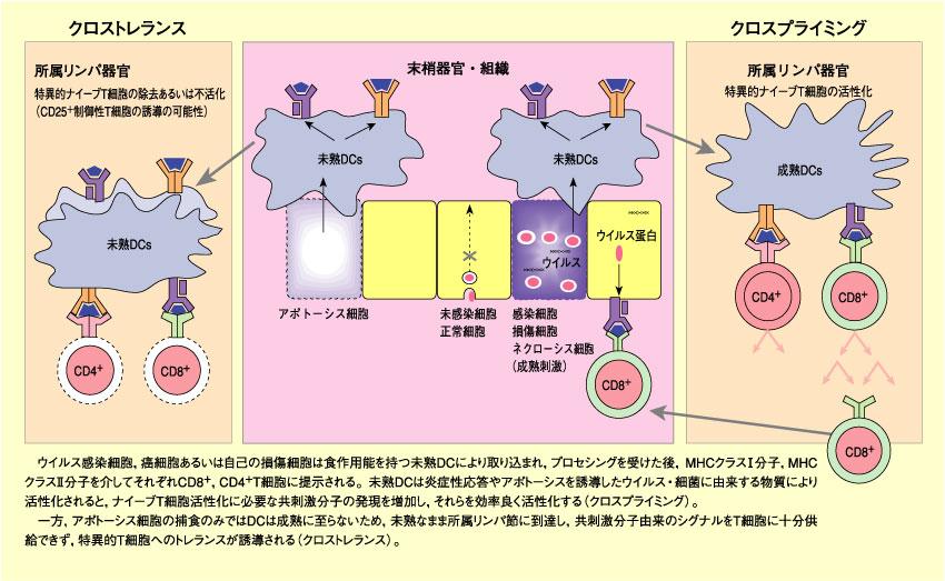制御性T細胞と樹状細胞による ...